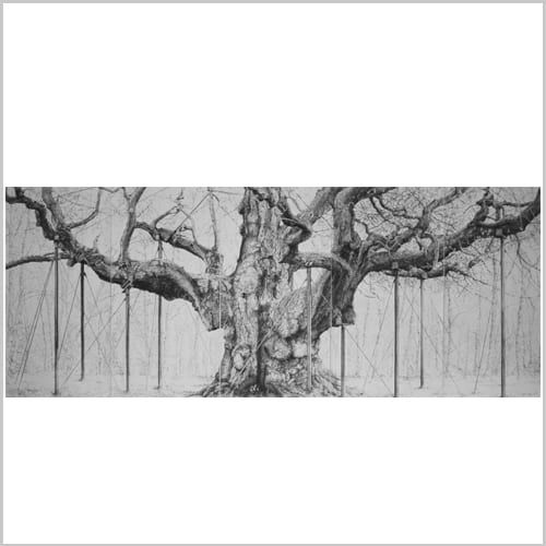 Major Oak- Charcoal on Paper 165x420cm